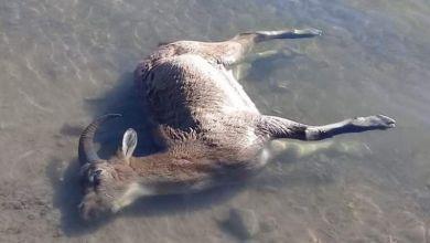 Photo of Dağ keçilerini sadece avcılar değil HES'ler de katlediyor
